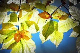 Herbstsaison ahornbaum