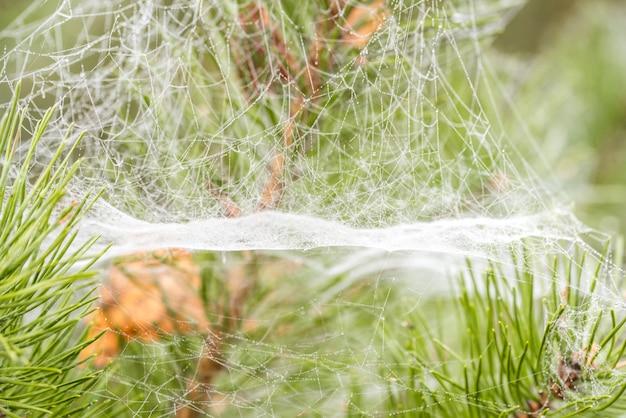 Herbstspinnennetze auf kiefernnadeln, makro.