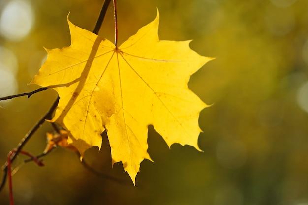 Herbststimmung. gelbe ahornblattnahaufnahme auf braun unscharfer natur. herbstsaison.