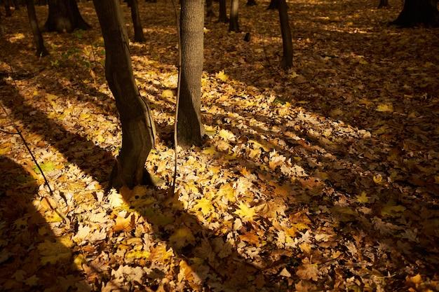 Herbstwald, ahornblätter liegen in einem dichten teppich am boden, die sonne bricht durch die bäume