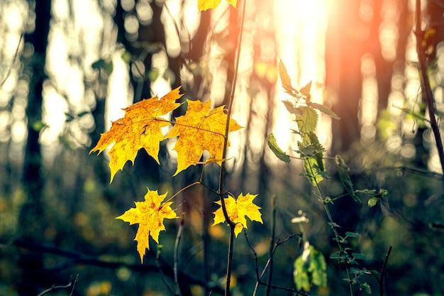 Herbstwald mit gelben ahornblättern bei sonnenuntergang