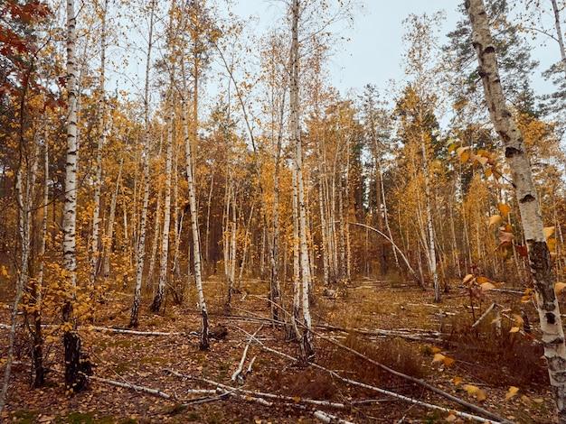 Herbstwald mit gelben birken.