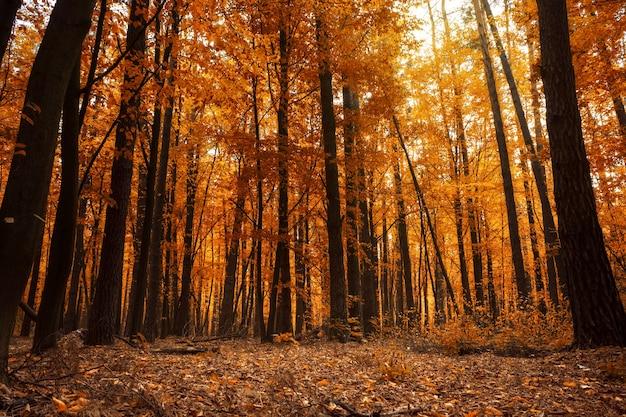 Herbstwald. schöne landschaft mit bäumen mit orange blättern im tageslicht.