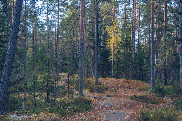 Herbstwald. tourismuskonzept und camping im freien. russland, karelien