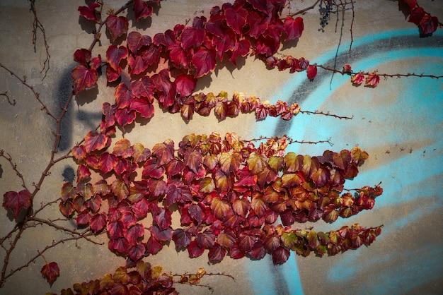 Herbstwand mit roten goldenen blättern des efeus
