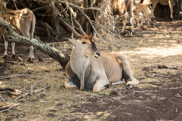 Herde afrikanischer hirsche in freier wildbahn. mauritius.
