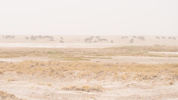 Herde der antilopen, die in der wüstenwanne weiden lassen. sandsturm und nebel. safari der wild lebenden tiere in etosha national park, berühmtes reiseziel in namibia, afrika.