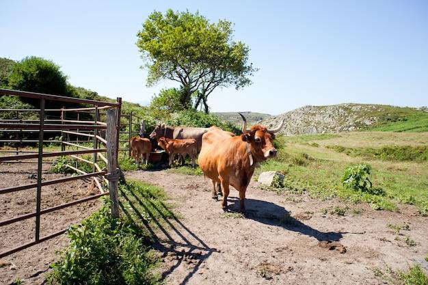 Herde der kühe, die auf dem gras weiden lassen