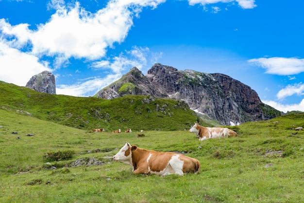 Herde der kühe, die in den alpen weiden lassen