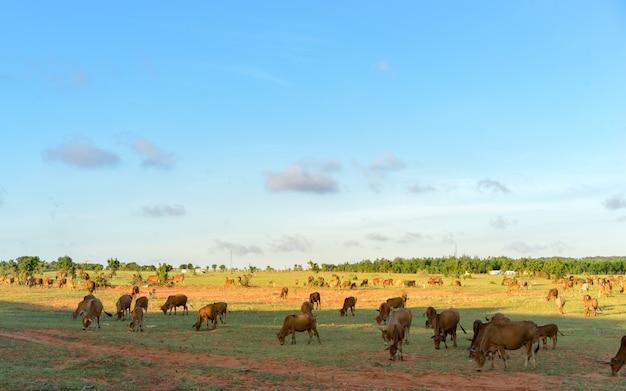 Herde der kühe, die in vietnam am sonnenuntergang weiden lassen.