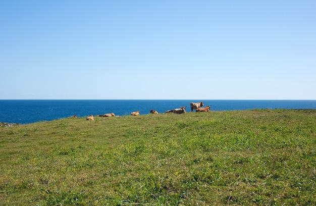 Herde der kühe, die nahe bei meer weiden lassen