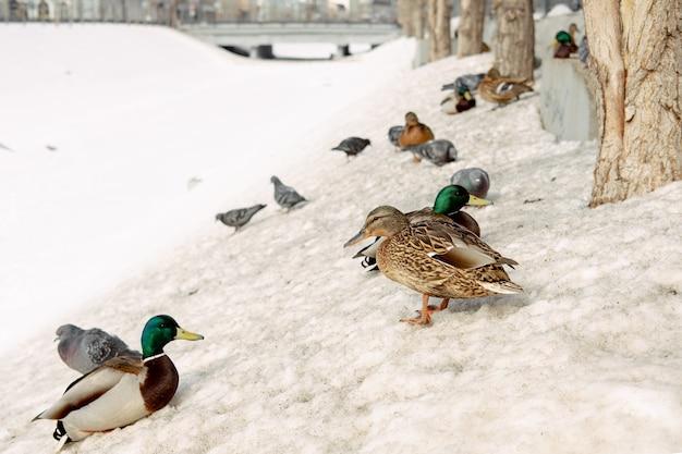 Herde der stockenten auf dem schnee. enten am fluss im winter. wilde vögel in der stadt.