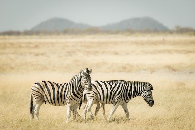 Herde der zebras, die im busch weiden lassen.