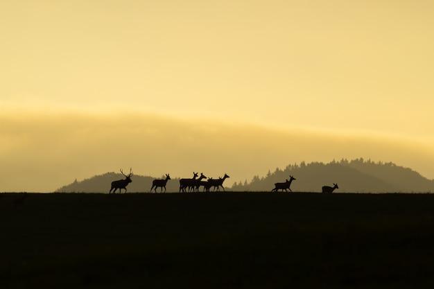 Herde des rotwilds mit tut und hirsch, der am ende bei sonnenuntergang auf einem horizont geht