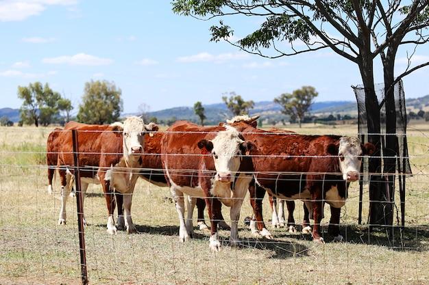 Herde des viehs im stift im freien in mudgee, australien