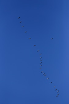 Herde grauer vögel im blauen himmel