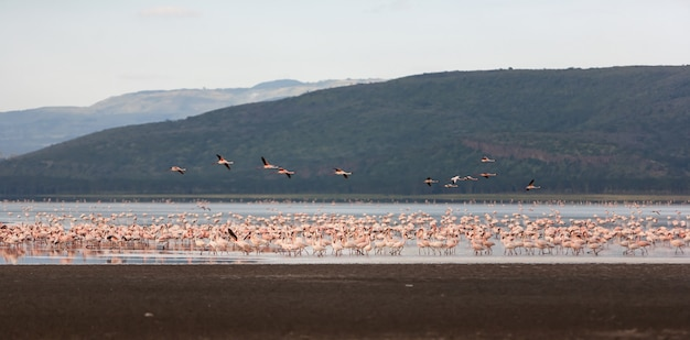 Herde größerer rosa flamingos