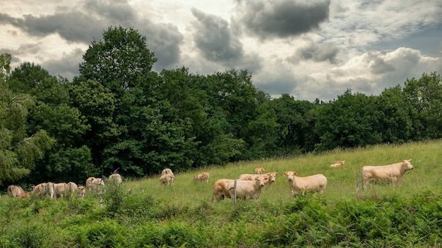Herde kühe auf dem land
