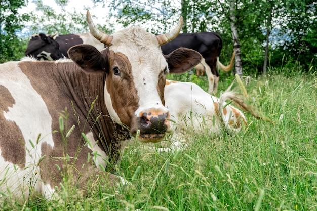 Herde kühe, die auf einer waldwiese weiden