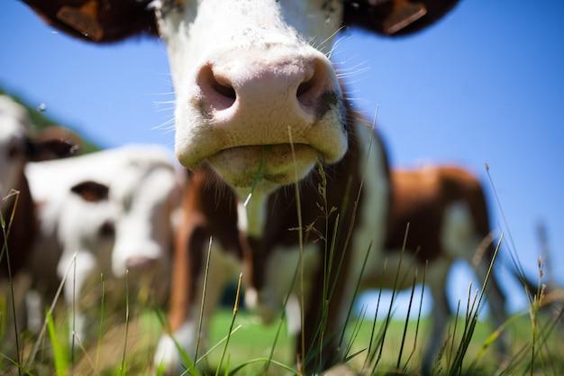 Herde kühe, die im frühjahr in frankreich milch für gruyere-käse produzieren