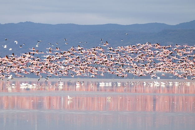 Herde rosa flamingos vom lake manyara