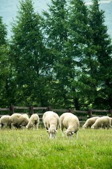 Herde schafe auf einer schönen grünen wiese