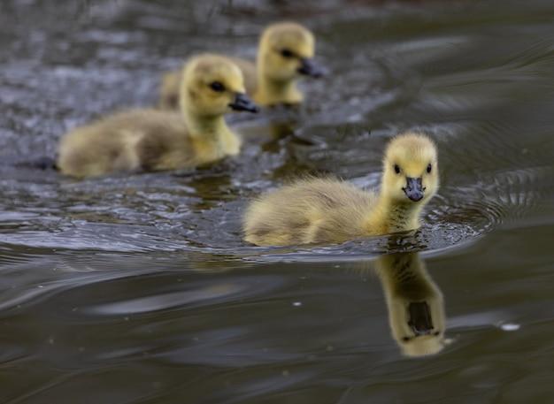 Herde süßer entenküken, die in einem see schwimmen