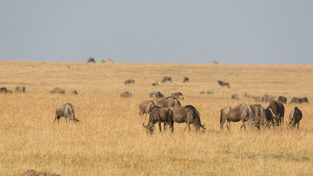 Herde von antilopen, die auf getrocknetem gras in masai mara . weiden lassen