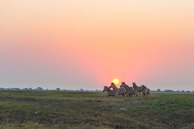 Herde von den zebras, die in den busch in der hintergrundbeleuchtung bei sonnenuntergang gehen. szenisches buntes sonnenlicht am horizont. wildlife safari in den afrikanischen nationalparks und wildreservaten.