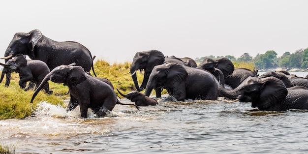 Herde von elefanten in afrika, die durch das gras im tarangire-nationalpark gehen