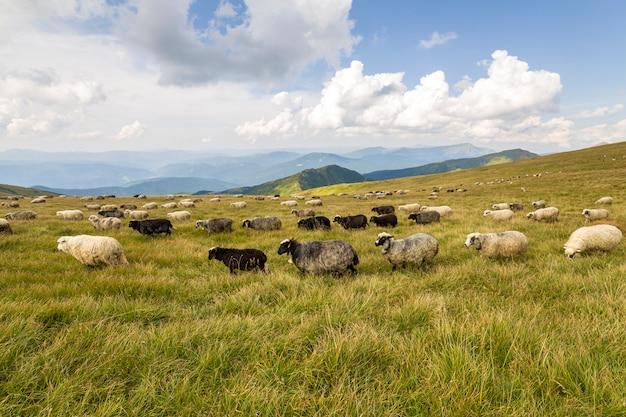 Herde von farmschafen, die auf grüner bergweide weiden lassen.