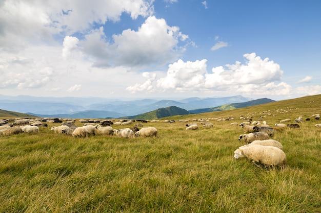 Herde von farmschafen, die auf grüner bergweide weiden lassen