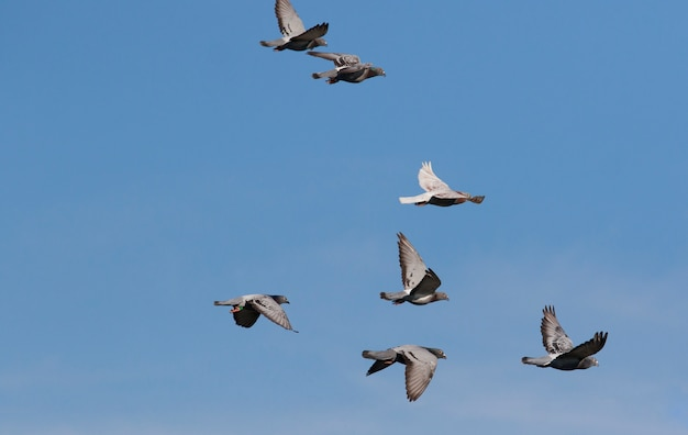 Herde von geschwindigkeits-brieftauben, die gegen klaren blauen himmel fliegen