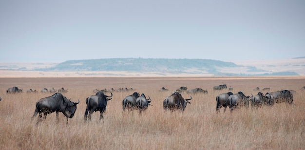 Herde von gnus in kenia