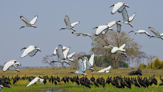 Herde von ibissen im flug vor dem hintergrund der afrikanischen landschaft
