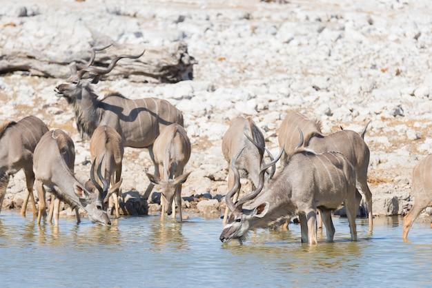 Herde von kudu trinkend vom okaukuejo-wasserloch. wildlife safari im etosha national park, majestätisches reiseziel in namibia, afrika.