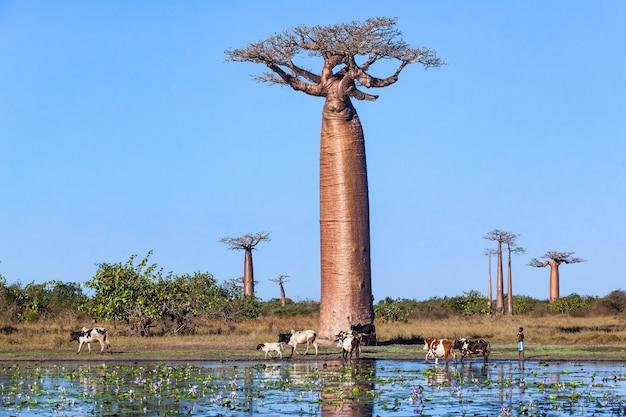 Herde von kühen in der nähe von baobab gasse seerosen im teich