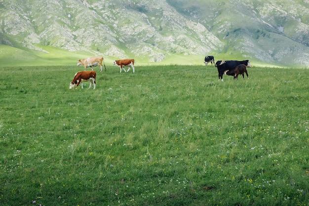 Herde von kühen in einer sommerlichen ländlichen landschaft an einem sommertag in einem berggebiet
