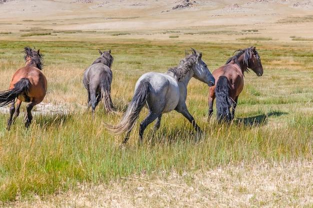Herde von pferden auf bergwiesen des mongolischen altai.