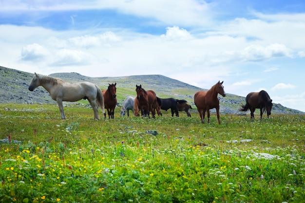 Herde von pferden