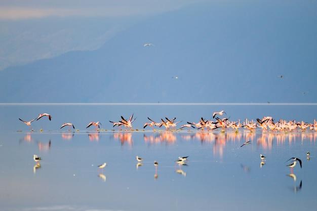 Herde von rosa flamingos vom lake manyara, tansania