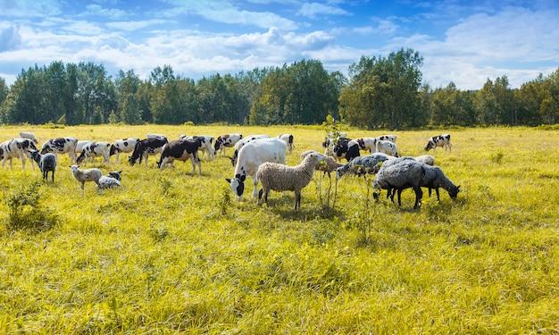 Herde von schafen und kühen, die an einem sonnigen tag auf grünem und gelbem gras weiden