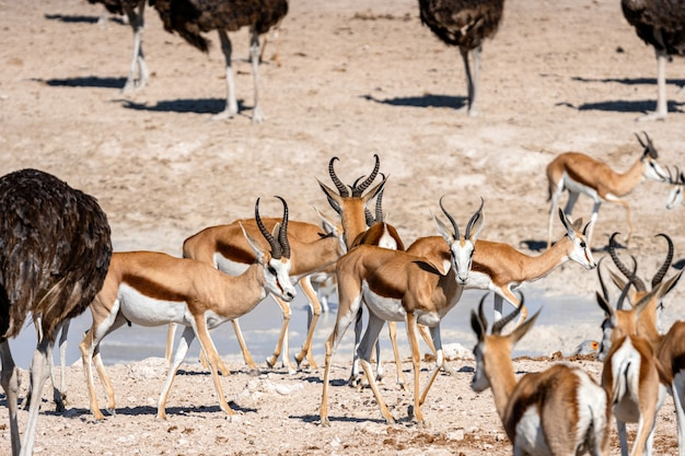 Herde von springbockantilopen und strauße am wasserloch, okaukuejo, etosha nationalpark, namibia