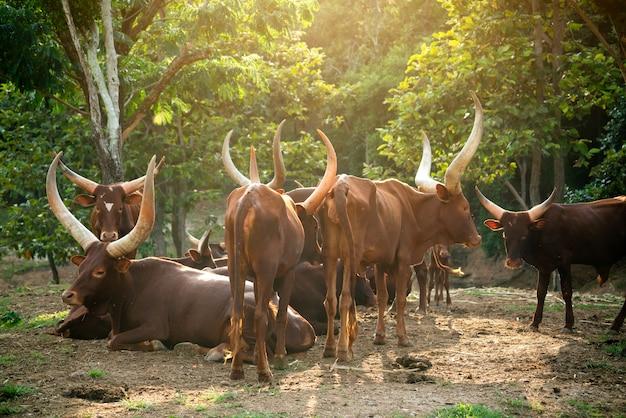 Herde von watusi-rindern