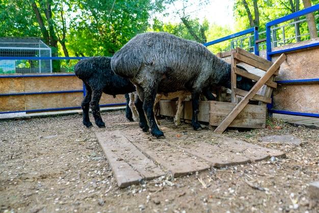 Herde von widdern oder schafen, die mit wolle bedeckt sind und heu hinter dem zaun in den zoos fressen