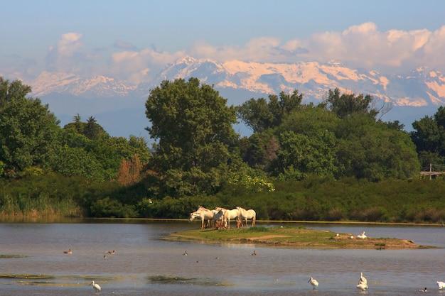 Herde von wilden camargue-pferden, soca-flussmündung - italien