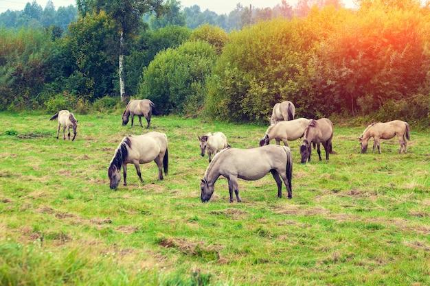 Herde von wildpferden auf der wiese bei sonnenuntergang