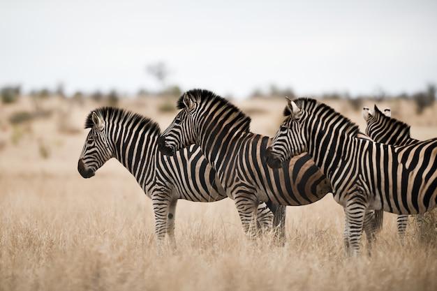 Herde von zebras, die auf dem savannenfeld stehen