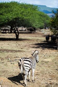 Herde von zebras in freier wildbahn. mauritius.