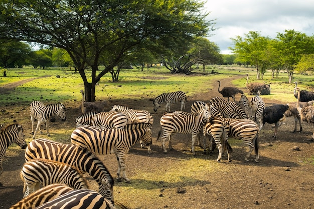 Herde von zebras und strauß in freier wildbahn im park auf mauritius